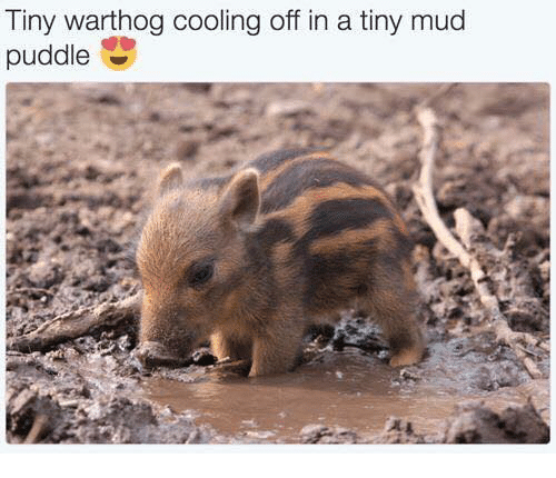 cooled-off: Tiny warthog cooling off in a tiny mud  puddle