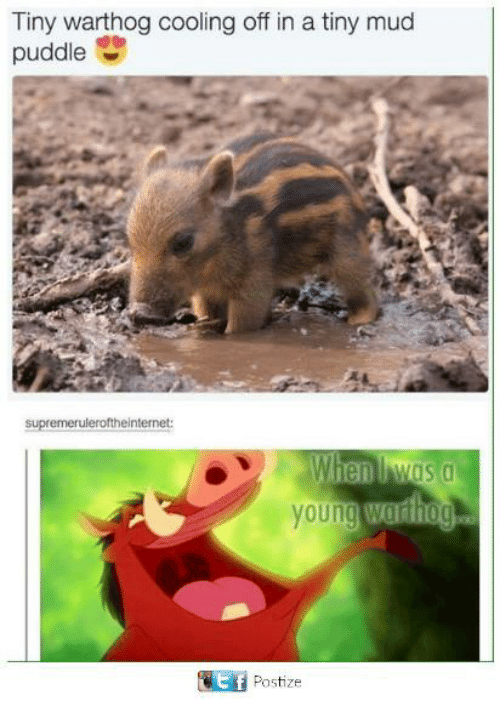 cooling-off: Tiny warthog cooling off in a tiny mud  puddle  S  supremeruleroftheinternet:  Wien was a  young Wuriog  It f  Postize