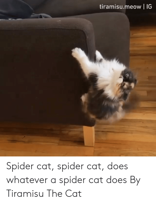 Dank, Spider, and 🤖: tiramisu.meow IG Spider cat, spider cat, does whatever a spider cat does  By Tiramisu The Cat