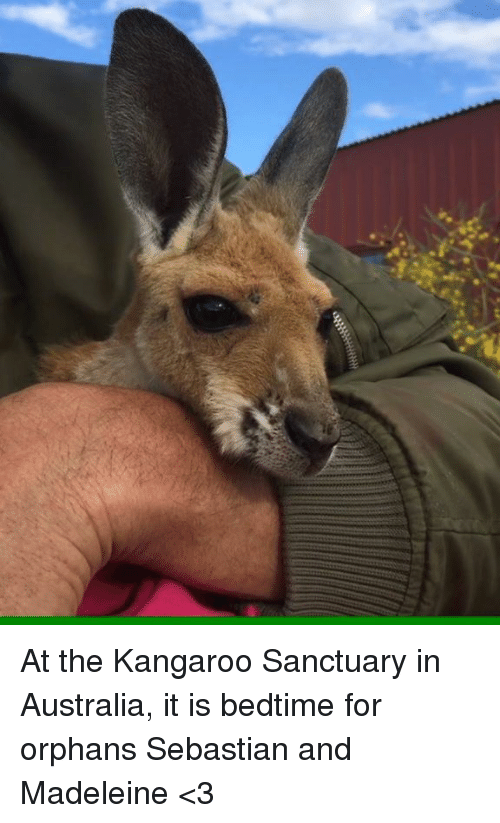 madeleine: titri At the Kangaroo Sanctuary in Australia, it is bedtime for orphans Sebastian and Madeleine <3