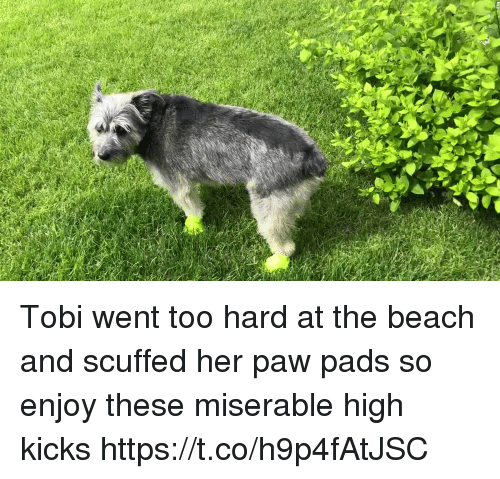Memes, Beach, and 🤖: Tobi went too hard at the beach and scuffed her paw pads so enjoy these miserable high kicks https://t.co/h9p4fAtJSC