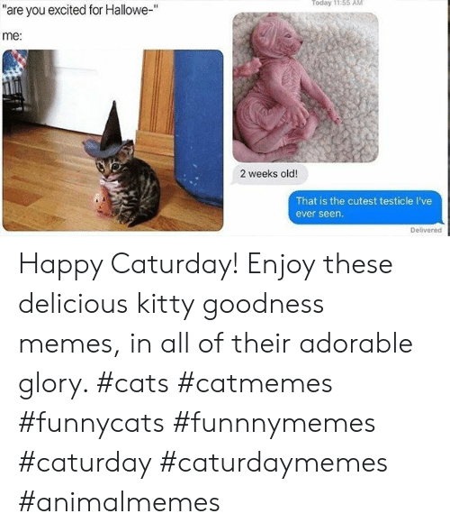 "goodness: Today 11:55 AM  ""are you excited for Hallowe-""  me:  2 weeks old!  That is the cutest testicle I've  ever seen.  Delivered Happy Caturday! Enjoy these delicious kitty goodness memes, in all of their adorable glory. #cats #catmemes #funnycats #funnnymemes #caturday #caturdaymemes #animalmemes"