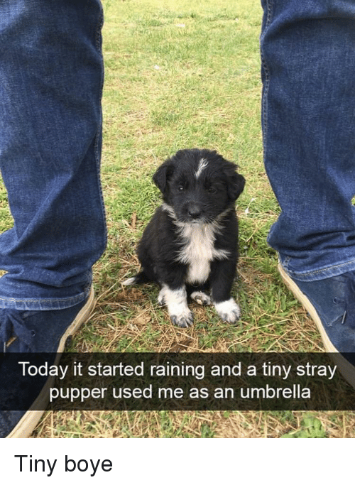 Boye: Today it started raining and a tiny stray  pupper used me as an umbrella Tiny boye