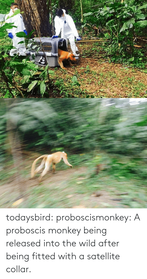 Collar: todaysbird:  proboscismonkey:  A proboscis monkey being released into the wild after being fitted with a satellite collar.