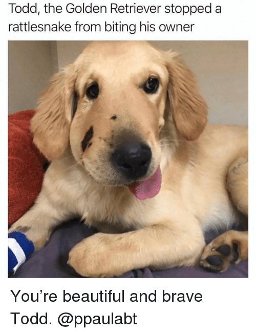 Beautiful, Memes, and Brave: Todd, the Golden Retriever stopped a  rattlesnake from biting his owner You're beautiful and brave Todd. @ppaulabt