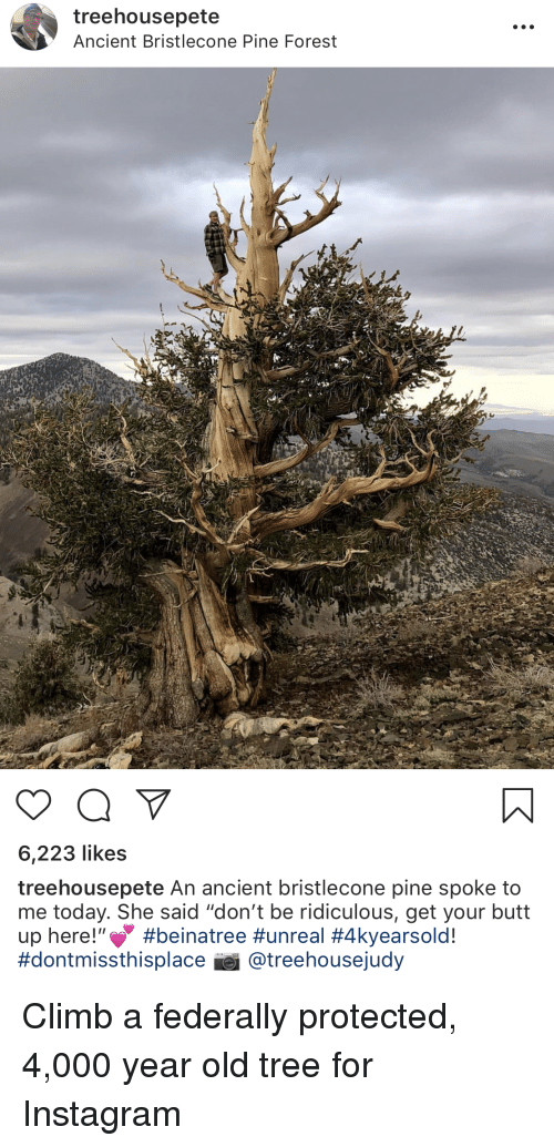 """Butt, Instagram, and Today: treehousepete  Ancient Bristlecone Pine Forest  1A  6,223 likes  treehousepete An ancient bristlecone pine spoke to  me today. She said """"don't be ridiculous, get your butt  up here."""" #beinatree #unreal #4kyearsold!  #dontmissthisplace ei @ reehousejudy"""