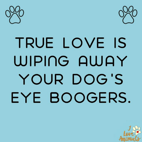 Dogs, Love, and Memes: TRUE LOVE IS  WIPING AUAY  YOUR DOG'S  EYE BOOGERS.  Love  Aenimals