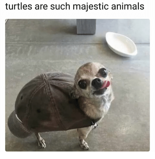 Animals, Turtles, and Such: turtles are such majestic animals