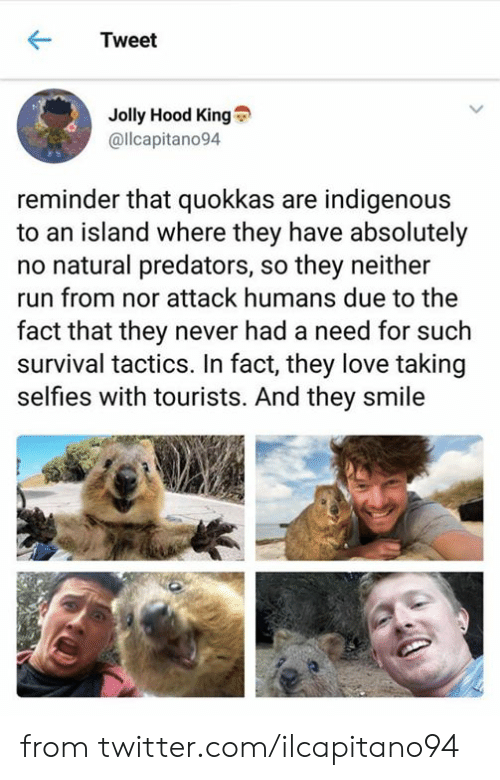 Dank, Love, and Run: Tweet  Jolly Hood King  @llcapitano94  reminder that quokkas are indigenous  to an island where they have absolutely  no natural predators, so they neither  run from nor attack humans due to the  fact that they never had a need for such  survival tactics. In fact, they love taking  selfies with tourists. And they smile from twitter.com/ilcapitano94