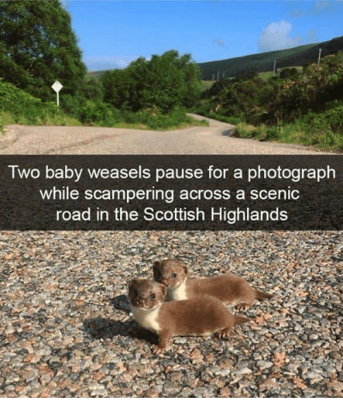Scottish, Baby, and For: Two baby weasels pause for a photograph  while scampering across a scenic  road in the Scottish Highlands