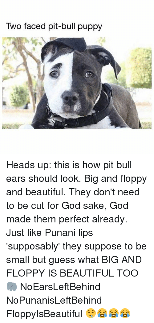 bulling: Two faced pit-bull puppy Heads up: this is how pit bull ears should look. Big and floppy and beautiful. They don't need to be cut for God sake, God made them perfect already. Just like Punani lips 'supposably' they suppose to be small but guess what BIG AND FLOPPY IS BEAUTIFUL TOO 🐘 NoEarsLeftBehind NoPunanisLeftBehind FloppyIsBeautiful 🤤😂😂😂