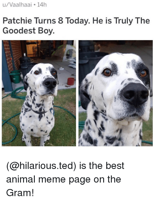 Animal Meme: u/Vaalhaai 14h  Patchie Turns 8 Today. He is Truly The  Goodest Boy (@hilarious.ted) is the best animal meme page on the Gram!