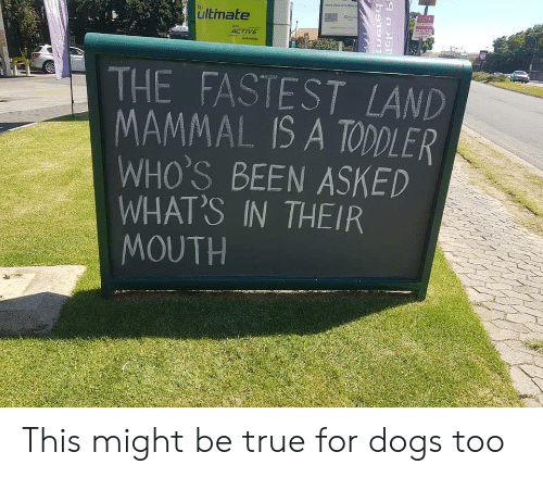 Dogs, True, and Been: ultimate  ACTIVE  THE FASTEST LAND  MAMMAL IS A TODDLER  WHO'S BEEN ASKED  WHAT'S IN THEIR  MOUTH This might be true for dogs too