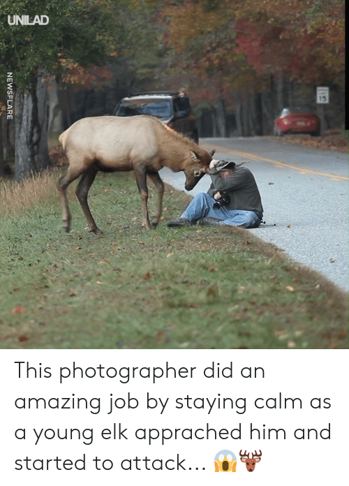 unilad: UNILAD  15  NEWSFLARE This photographer did an amazing job by staying calm as a young elk apprached him and started to attack... 😱🦌
