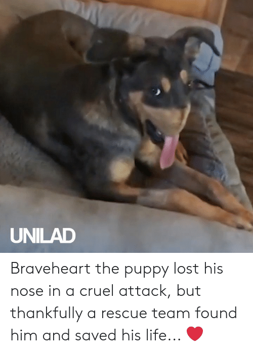 unilad: UNILAD Braveheart the puppy lost his nose in a cruel attack, but thankfully a rescue team found him and saved his life... ❤️