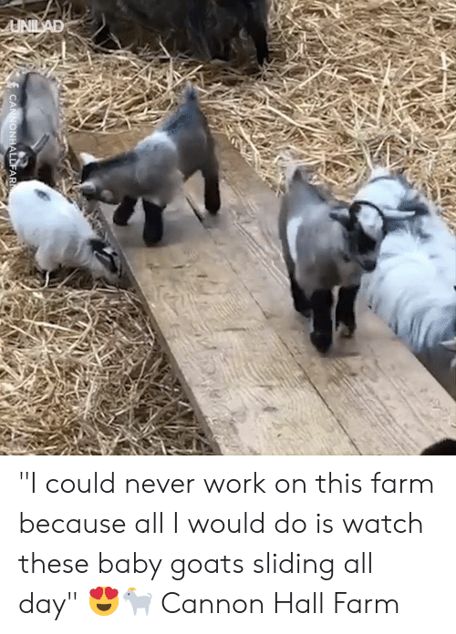 """goats: UNILAD  CANNONHALLFAR """"I could never work on this farm because all I would do is watch these baby goats sliding all day"""" 😍🐐  Cannon Hall Farm"""
