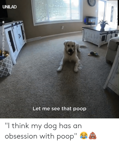 "Dog Has: UNILAD  Let me see that poop  D CHARLIE THE GOLDEN 18 ""I think my dog has an obsession with poop"" 😂💩"