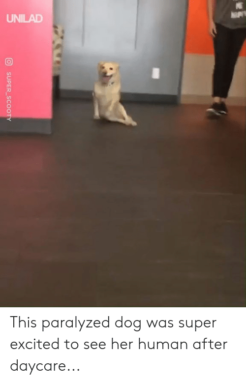 paralyzed: UNILAD  SUPER SCOOTY This paralyzed dog was super excited to see her human after daycare...