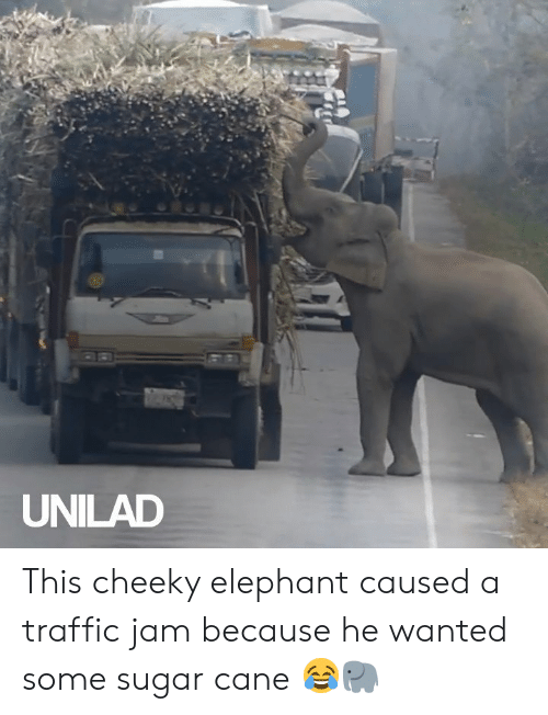 jam: UNILAD This cheeky elephant caused a traffic jam because he wanted some sugar cane 😂🐘