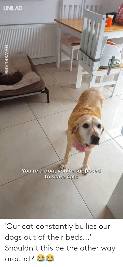 Cats, Dank, and Dogs: UNILAD  You're a dog, you re supk  to scare cats 'Our cat constantly bullies our dogs out of their beds...' Shouldn't this be the other way around? 😂😂