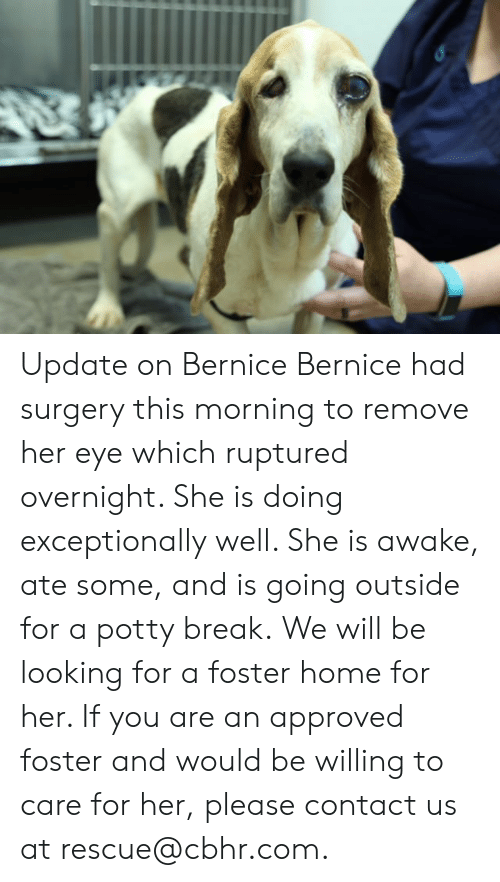 bernice: Update on Bernice  Bernice had surgery this morning to remove her eye which ruptured overnight. She is doing exceptionally well. She is awake, ate some, and is going outside for a potty break.  We will be looking for a foster home for her. If you are an approved foster and would be willing to care for her, please contact us at rescue@cbhr.com.