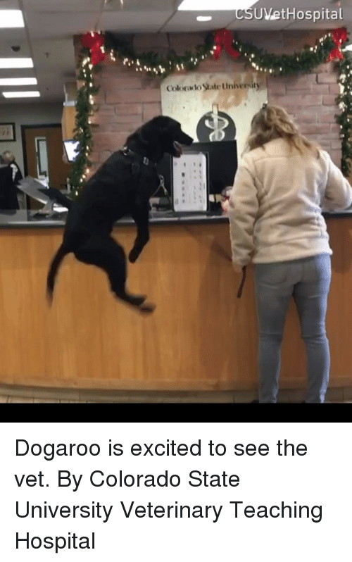 Dank, Colorado, and Hospital: UVetHospital  Colonsto State Univernity Dogaroo is excited to see the vet.  By Colorado State University Veterinary Teaching Hospital
