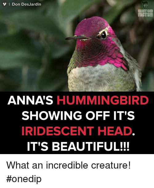 Hummingbirds: v I Don DesJardin  FACTS!II  ANNAS  HUMMINGBIRD  SHOWING OFF IT'S  IRIDESCENT HEAD  IT'S BEAUTIFUL!!! What an incredible creature! #onedip