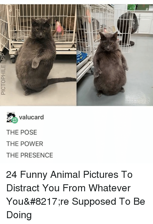 Funny, Animal, and Pictures: valucard  THE POSE  THE POWER  THE PRESENCE 24 Funny Animal Pictures To Distract You From Whatever You're Supposed To Be Doing