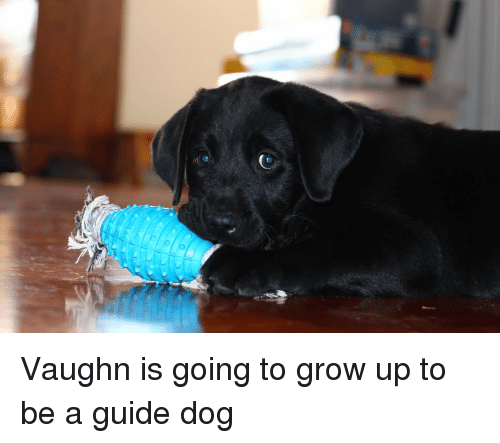 Vaughn: Vaughn is going to grow up to be a guide dog