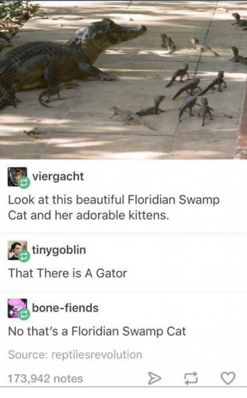 Beautiful, Kittens, and Humans of Tumblr: viergacht  Look at this beautiful Floridian Swamp  Cat and her adorable kittens.  tiny goblin  That There is A Gator  bone-fiends  No that's a Floridian Swamp Cat  Source: reptilesrevolution  173,942 notes