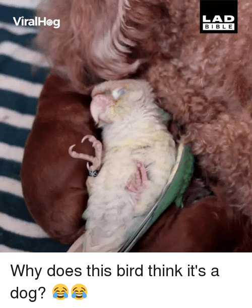 Dank, 🤖, and Dog: ViralHeg  LAD  BIBL E Why does this bird think it's a dog? 😂😂