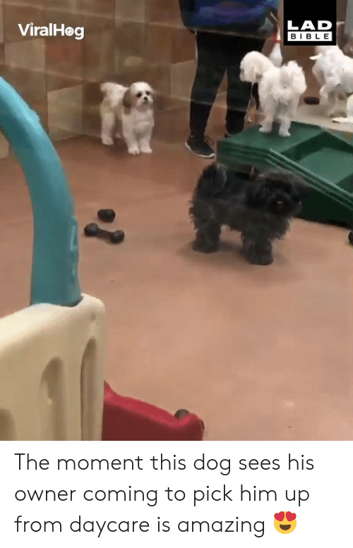 Dank, Bible, and Amazing: ViralHog  LAD  BIBLE The moment this dog sees his owner coming to pick him up from daycare is amazing 😍