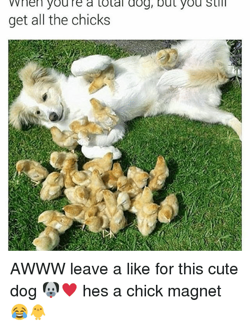cute dogs: VV nen youre a total dog, but you still  get all the chicks AWWW leave a like for this cute dog 🐶♥️ hes a chick magnet 😂🐥
