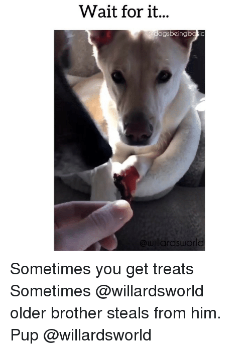 Memes, Pup, and 🤖: Wait for it...  dogsbeingbasic  @willardsworld Sometimes you get treats Sometimes @willardsworld older brother steals from him. Pup @willardsworld
