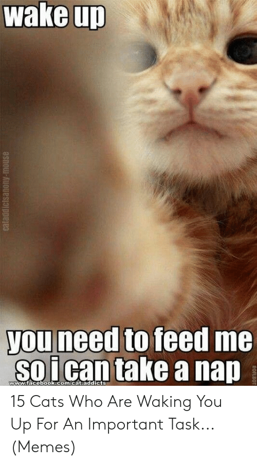 Cats, Facebook, and Memes: wake up  you need to feed me  soican take a nap  www.facebook.com/cat.addicts  eataddictsanony-mouse  ROFLBOT 15 Cats Who Are Waking You Up For An Important Task... (Memes)