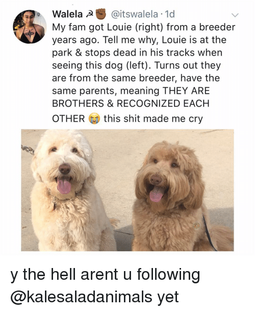 Fam, Memes, and Parents: Walela @itswalela 1d  My fam got Louie (right) from a breeder  years ago. Tell me why, Louie is at the  park & stops dead in his tracks when  seeing this dog (left). Turns out they  are from the same breeder, have the  same parents, meaning THEY ARE  BROTHERS & RECOGNIZED EACH  OTHER this shit made me cry y the hell arent u following @kalesaladanimals yet