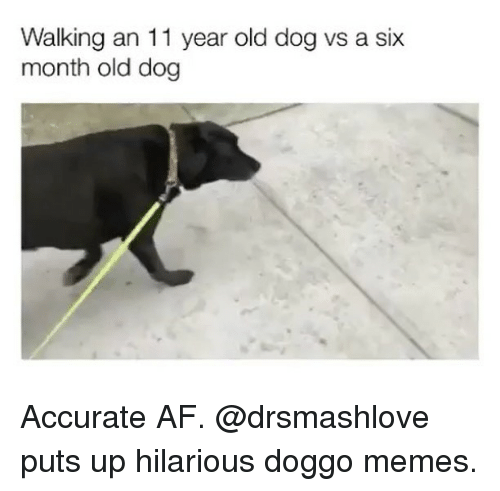 Doggo Memes: Walking an 11 year old dog vs a six  month old dog Accurate AF. @drsmashlove puts up hilarious doggo memes.