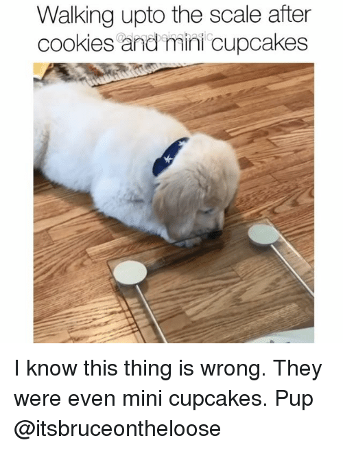 miny: Walking upto the scale after  cookies and mini cupcakes I know this thing is wrong. They were even mini cupcakes. Pup @itsbruceontheloose