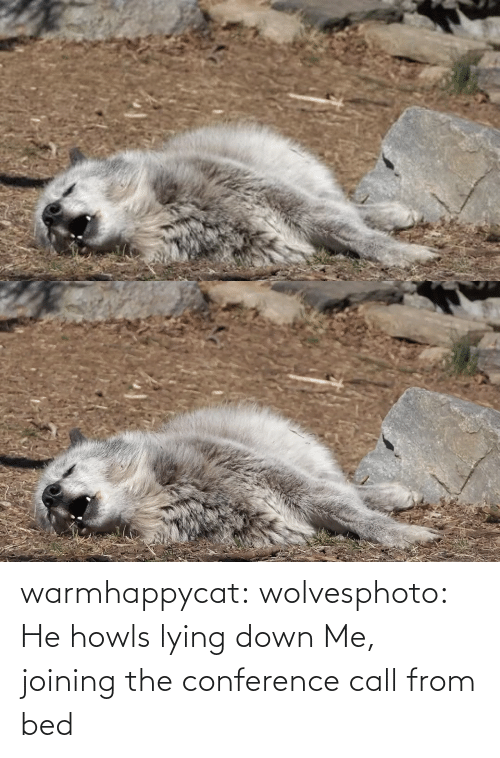 Conference: warmhappycat:  wolvesphoto: He howls lying down   Me, joining the conference call from bed