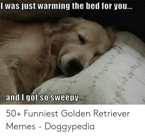 Memes, Golden Retriever, and Got: was just warming the hed for you.  and I got so sweepy 50+ Funniest Golden Retriever Memes - Doggypedia