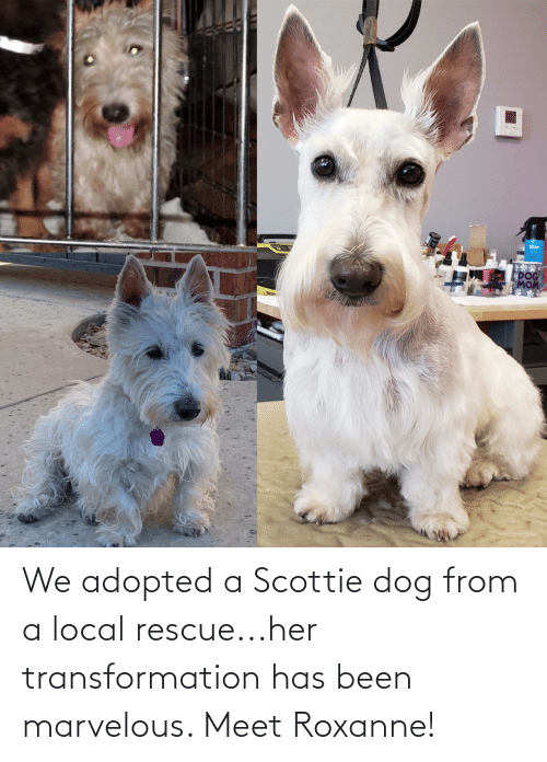 Marvelous: We adopted a Scottie dog from a local rescue...her transformation has been marvelous. Meet Roxanne!