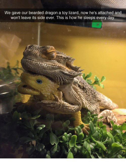 Bearded Dragon: We gave our bearded dragon a toy lizard, now he's attached and  won't leave its side ever. This is how he sleeps every day