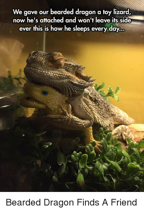 Bearded Dragon: We gave our bearded dragon a toy lizard  now he's attached and won't leave its side  ever this is how he sleeps every day.. <p>Bearded Dragon Finds A Friend</p>