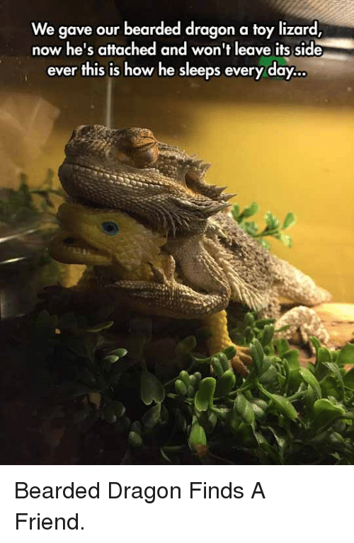 Bearded Dragon: We gave our bearded dragon a toy lizard,  now he's attached and won't leave its side  ever this is how he sleeps every day <p>Bearded Dragon Finds A Friend.</p>