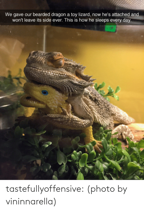 Reddit, Tumblr, and Blog: We gave our bearded dragon a toy lizard, now he's attached and  won't leave its side ever. This is how he sleeps every day. tastefullyoffensive:  (photo by vininnarella)
