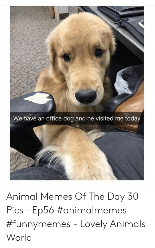 Animals, Memes, and Animal: We have an office dog and he visited me today Animal Memes Of The Day 30 Pics – Ep56 #animalmemes #funnymemes - Lovely Animals World