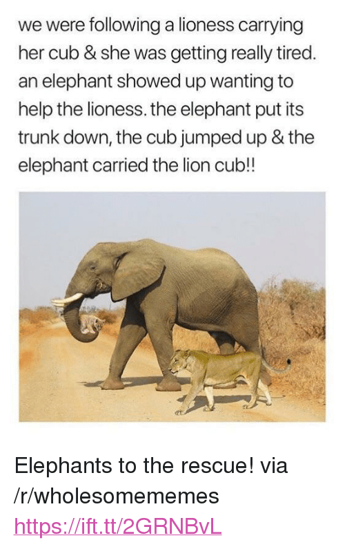 "lioness: we were following a lioness carrying  her cub & she was getting really tired  an elephant showed up wanting to  help the lioness. the elephant put its  trunk down, the cub jumped up & the  elephant carried the lion cub!! <p>Elephants to the rescue! via /r/wholesomememes <a href=""https://ift.tt/2GRNBvL"">https://ift.tt/2GRNBvL</a></p>"