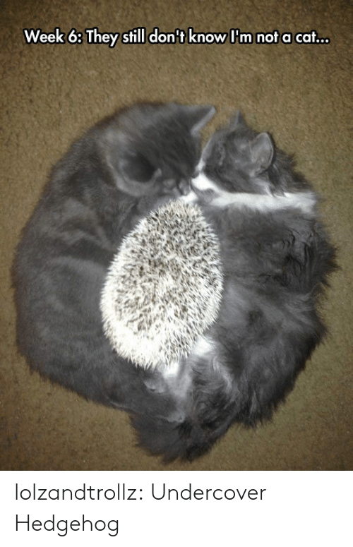 Hedgehog: Week 6: They still don't know I'm not a cat... lolzandtrollz:  Undercover Hedgehog