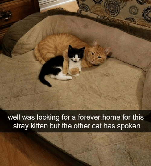Aww Memes: well was looking for a forever home for this  stray kitten but the other cat has spoken