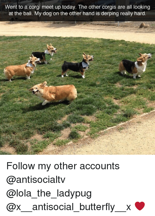 corgy: Went to a corgi meet up today. The other corgis are all looking  at the ball. My dog on the other hand is derping really hard Follow my other accounts @antisocialtv @lola_the_ladypug @x__antisocial_butterfly__x ❤️